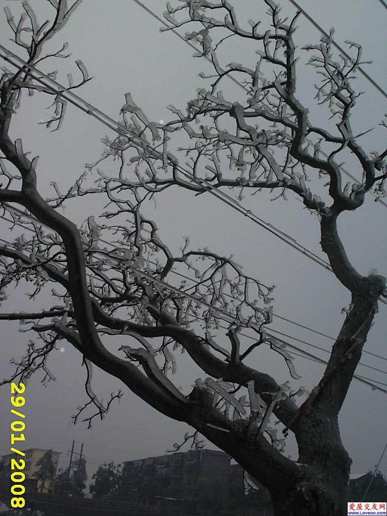 y1h2b3xy 会结冰的树!